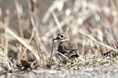 pic of killdeer  - A small killdeer bird blends in with the grass behind it - JPG