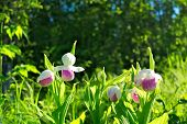 Showy Ladys-slippers, Cypripedium Reginae, Minnesota State Flower. poster
