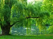 stock photo of weeping willow tree  - Sunset in Central Park at the pool - JPG