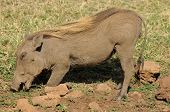 foto of sub-saharan  - Warthog or Common Warthog  - JPG