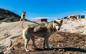 Greenland dogs - husky sled dog in Ilulissat Greenland. Greenlandic dog sled dog in summer nature la poster