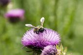 Pollen Covered Bumblebee On A Texas Purple Thistle Flower poster