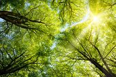 pic of canopy  - The warm spring sun shining through the canopy of tall beech trees - JPG