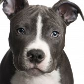 stock photo of pit-bull  - American Staffordshire terrier puppy  - JPG