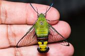 foto of hawk moth  - Close up of pellucid hawk moth or greenish hyaline hawk moth  - JPG