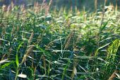 stock photo of bluegrass  - Many bluegrass in the meadow in summer  - JPG