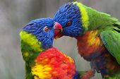 image of lorikeets  - A closeup of the heads of two rainbow lorikeets - JPG
