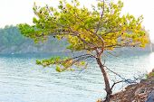 Pine Growing On The Rocky Shore Of The Sea