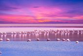 foto of pink flamingos  - flamingo in Bolivia - JPG