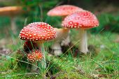 Fly-agaric in a forest, closeup photo
