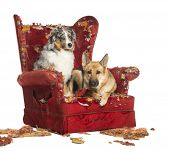 image of alsatian  - German and Australian Shepherd and Poodle on a destroyed armchair - JPG