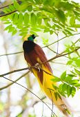 stock photo of jungle birds  - Bird of paradise in the jungle - JPG