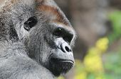 image of gorilla  - One Adult Black Gorilla near Some Yellow Flowers