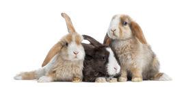 picture of dwarf rabbit  - Group of Satin Mini Lop rabbits - JPG