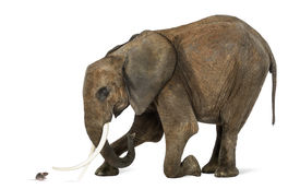 pic of herbivore animal  - African elephant kneeling in front of a mouse - JPG