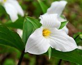 picture of trillium  - White Trillium blooming in woodlands Ontario provincial flower - JPG