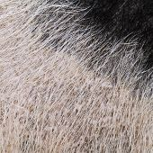 Domestic Pig Fur