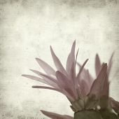 pic of schlumbergera  - textured old paper background with Christmas cactus - JPG