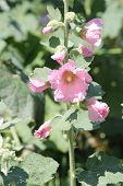 pic of hollyhock  - Alcea, commonly known as hollyhocks. Hollyhocks are popular garden ornamental plants. They are native to Asia and Europe, they come in a variety of colours.