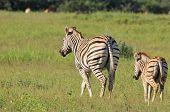 foto of mare foal  - Zebra  - JPG
