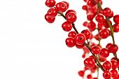 pic of winterberry  - Winterberry Christmas branches with red holly berries - JPG