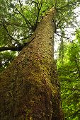 picture of pacific rim  - Tall western hemlock tree trunk in temperate rain forest - JPG