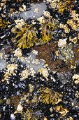 pic of pacific rim  - Mussels and barnacles at low tide on sea floor in Pacific coast of Canada - JPG
