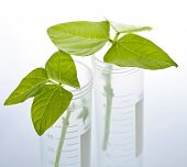 Genetically modified plant seedlings in two test tubes