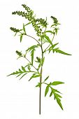 foto of ragweed  - Ragweed plant in allergy season isolated on white background - JPG