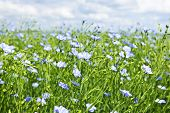 picture of flax plant  - Field of many flowering flax plants with blue sky - JPG