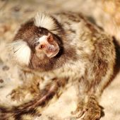 pic of marmosets  - Close up Common Marmoset looking something in outside - JPG