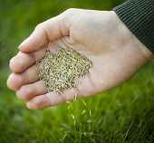 Hand planting grass seed for overseeding green lawn care