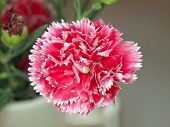 carnation flower closeup