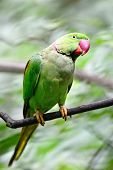 picture of parakeet  - Green Parakeet - JPG