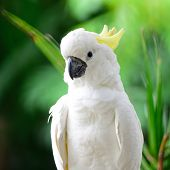stock photo of cockatoos  - Beautiful white Cockatoo - JPG