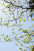 stock photo of dogwood  - Branches and leaves of the dogwood tree - JPG