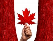 picture of canada maple leaf  - Canadian autumn concept as a hand holding a red maple leaf between two red tree trunks isolated on a white background as a symbol of Canada and the environment - JPG