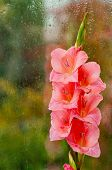foto of gladiolus  - Beautiful pink gladiolus on a background of wet glass - JPG