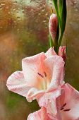 stock photo of gladiolus  - Beautiful pink gladiolus on a background of wet glass - JPG
