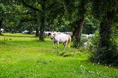 image of lipizzaner  - Lipizzaner horses in the meadow of Slovenia - JPG
