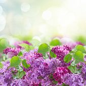 stock photo of lilac bush  - Bush of  of Lilac flowers   on blue sky bokeh  background - JPG