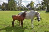 picture of arabian horse  - The horse with the foal - JPG
