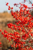picture of winterberry  - Ilex verticillata - JPG