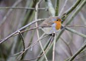 pic of red robin  - Robin Red Breast spotted in woodland in London UK