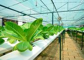 image of hydroponics  - green lettuce cultivation hydroponics green vegetable in farm - JPG
