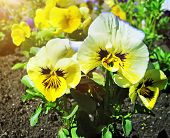 picture of viola  - Closeup view of a flowerbed of viola tricolor or kiss - JPG