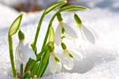foto of snow forest  - Spring snowdrop flowers with snow in the forest - JPG