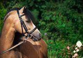 picture of buckskin  - Portrait of beautiful buckskin welsh pony - JPG