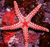 picture of echinoderms  - Underwater image of a beautiful red Starfish on a reef - JPG