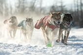 picture of sled-dog  - A sled dog team in the 2015 Yukon Quest from Whitehorse - JPG
